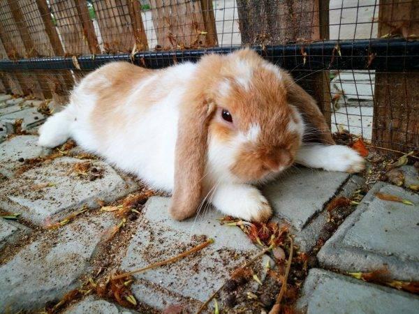 Почему у кролика отказали задние лапы ' грызуны '