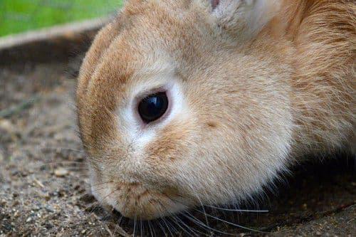 Диарея у кролика: почему возникает и как лечить?