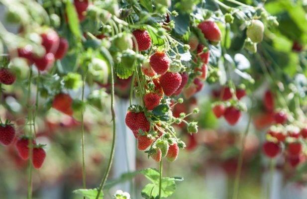 Выращивание клубники в теплице круглый год как бизнес: 3 метода