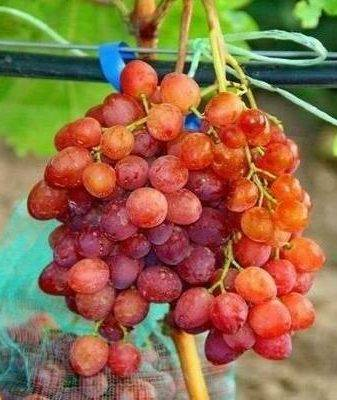 Сорта винограда для ленинградской области неукрывные