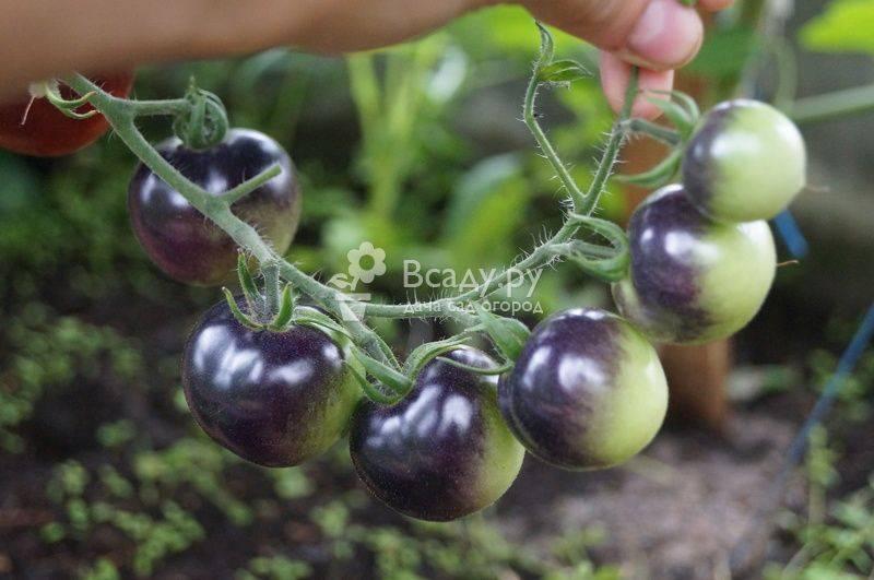 Обработка рассады томатов от болезней: средства и способы защиты растений