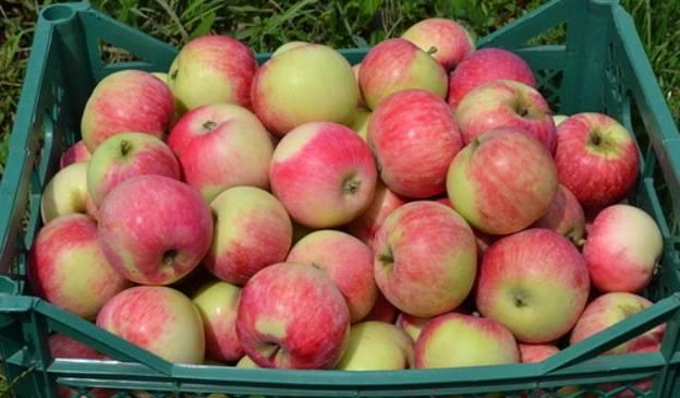 Сорт яблок конфетное: описание и отзывы садоводов| весьогород.ру