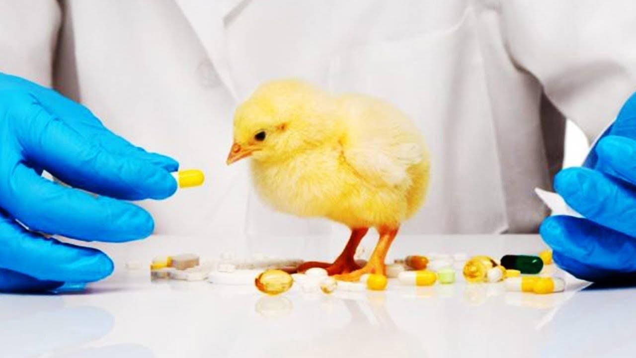 Глисты у кур: симптомы, лечение, профилактика | ветеринарная служба владимирской области