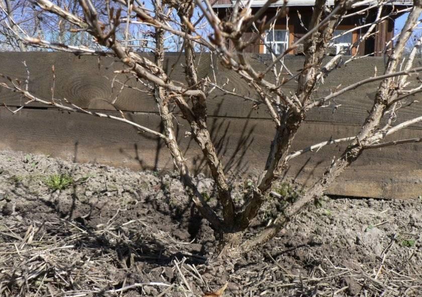 Весенний уход за кустами крыжовника в открытом грунте