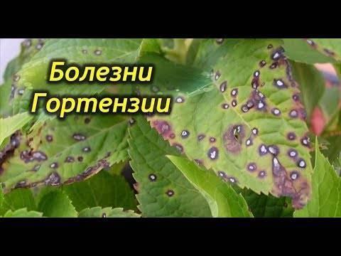 Вирусные и грибковые болезни гортензии и их лечение