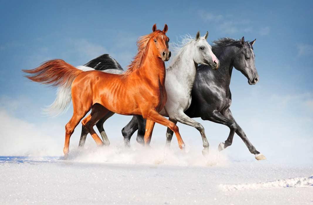 О красивых лошадях: обзор самых прекрасных лошадиных пород в мире