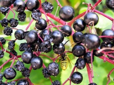 Бузина посадка и уход размножение виды и сорта бузины