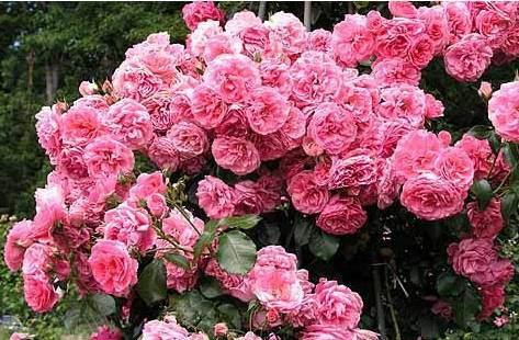 Об уходе и выращивании плетистой розы: как быстро растет, чем укрывать на зиму