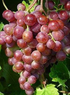 Особенности сорта винограда «феномен»