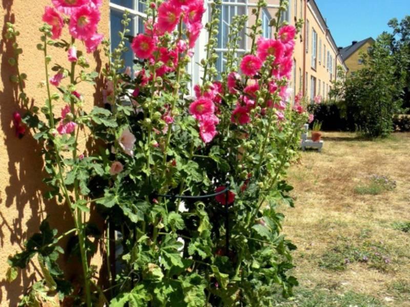 Изысканная мальва многолетняя: посадка и уход за красивоцветущим растением для декорирования открытых участков сада