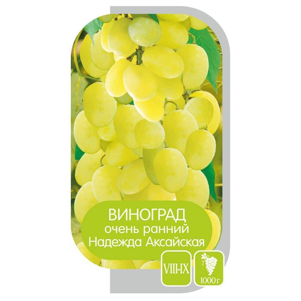 Белый столовый виноград «надежда аксайская»