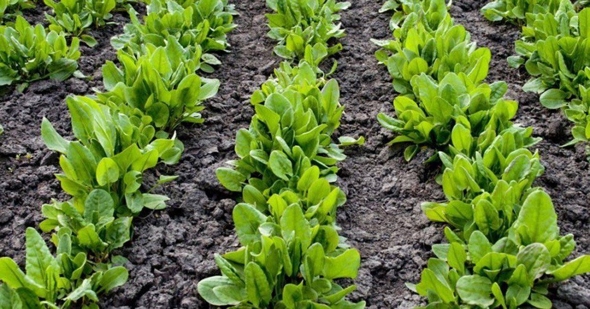 Черемша: выращивание на даче