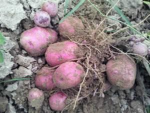 Полив картофеля в открытом грунте: как часто?