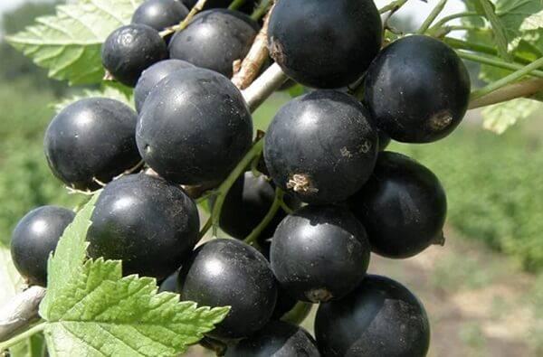 Смородина Черный Жемчуг: описание и характеристики сорта, уход и выращивание