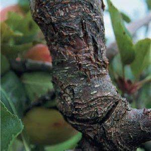 Как спасти деревья от бактериального ожога груши?