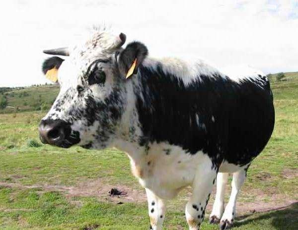 Изучаем породы коров по фото и описаниям