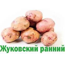 Сорт картофеля джура характеристика отзывы