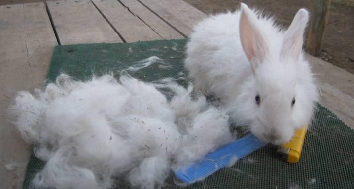 Домашний кролик моча с кровью