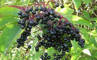 Черная бузина (sambúcus nígra) – садовый кустарник