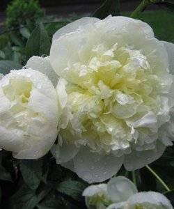 Пион травянистый: описание, правильный уход и выращивание