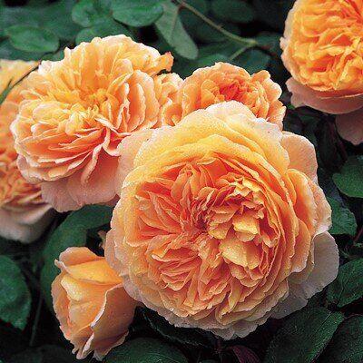 Роза парковая принцесса маргарет