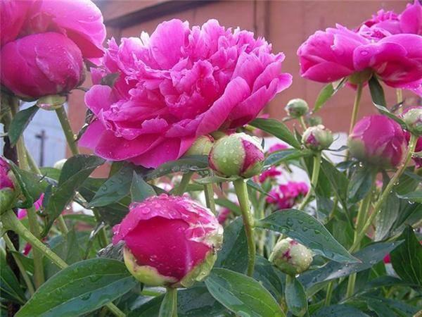 Посадка пионов весной и уход (15 фото): когда можно сажать в открытый грунт? как сохранить цветы до посадки? как правильно за ними ухаживать? советы бывалых садоводов
