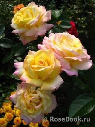 Чайно-гибридный сорт роз глория дей: как посадить, что делать если не цветет
