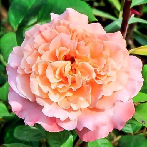 Роза августа луиза (augusta luise)