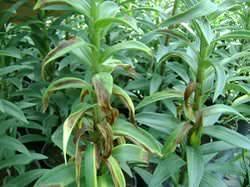 Болезни листьев антуриума и их лечение – подробное описание с фотографиями