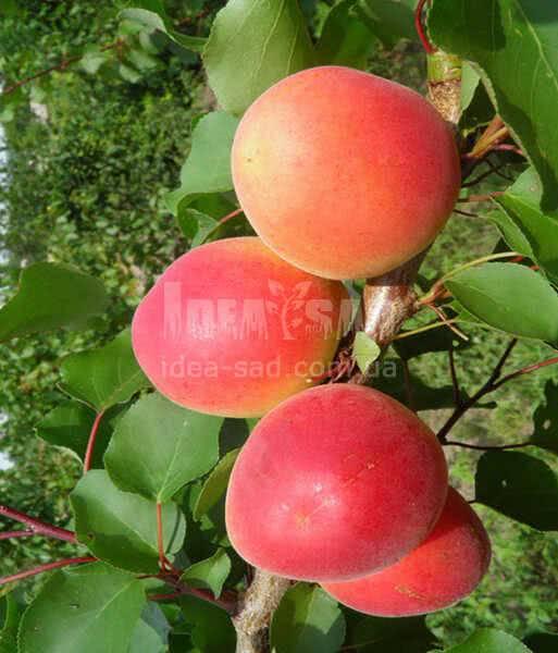 Фрукты в армении в июле-августе. 15 фруктов, сезонные овощи и орехи.
