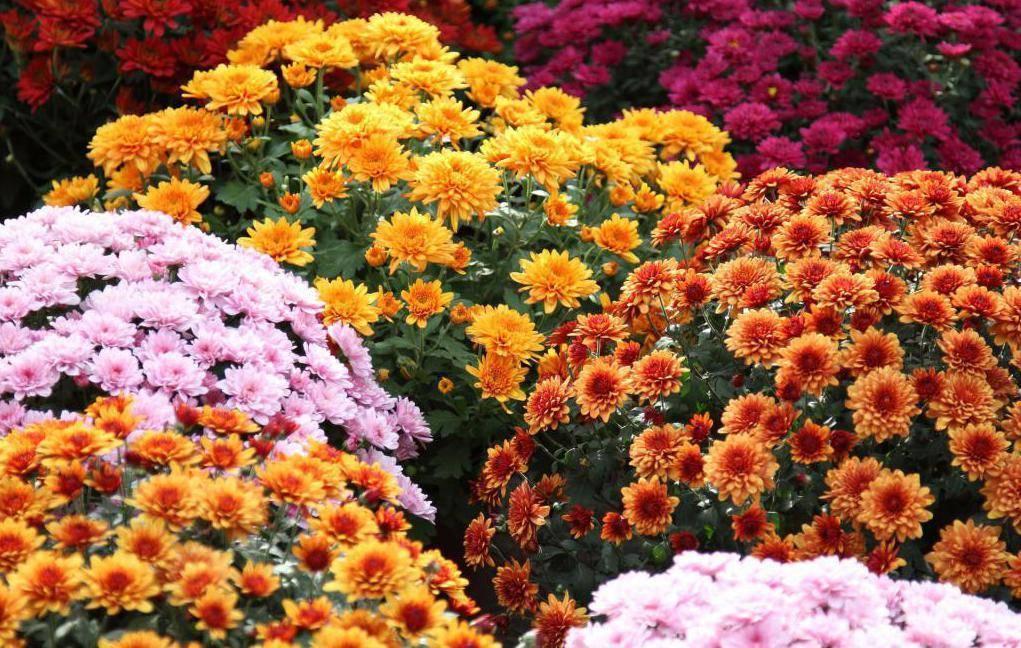 Многолетние садовые хризантемы: посадка, уход, подготовка к зиме