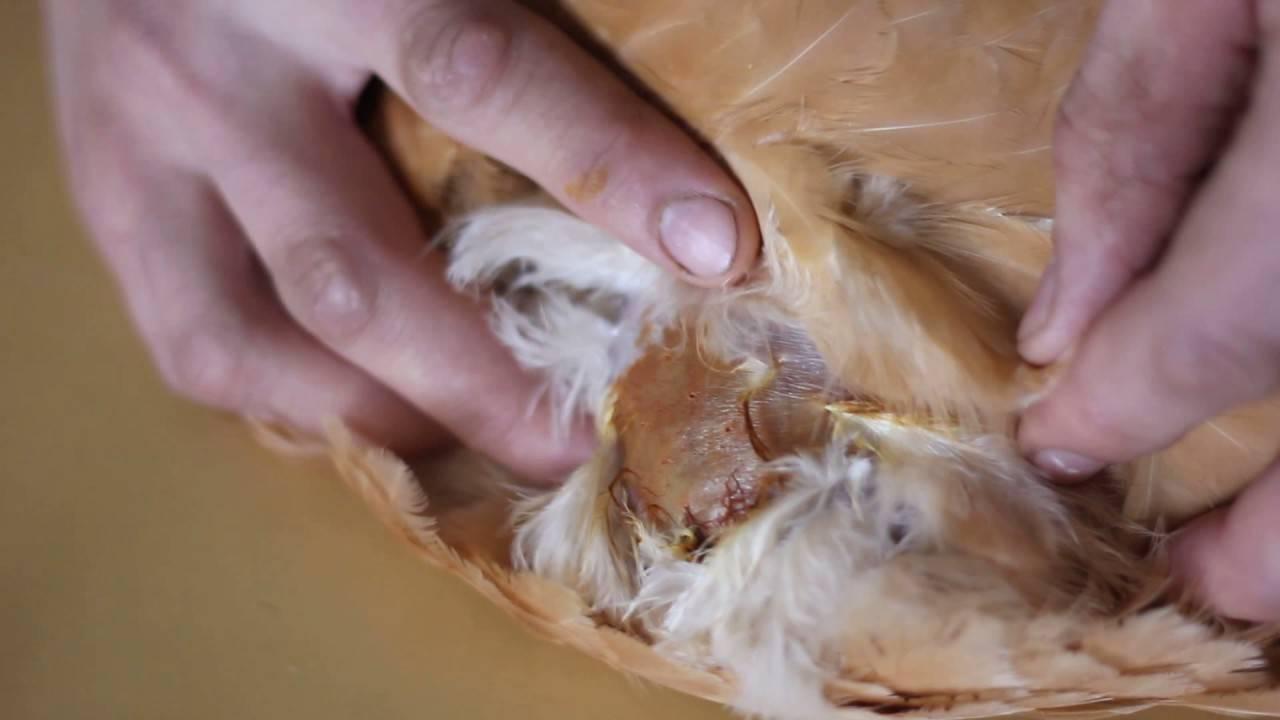 У курицы забит зоб что делать