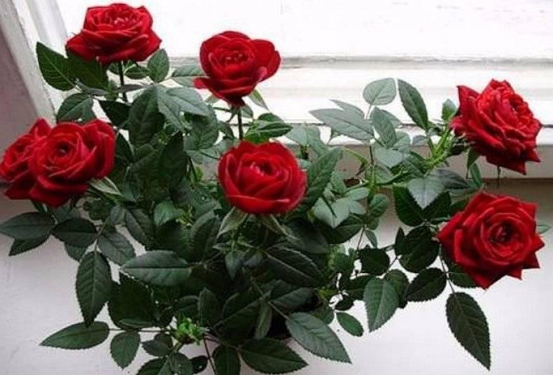 Комнатная роза - уход в домашних условиях, как правильно поливать и обрезать?