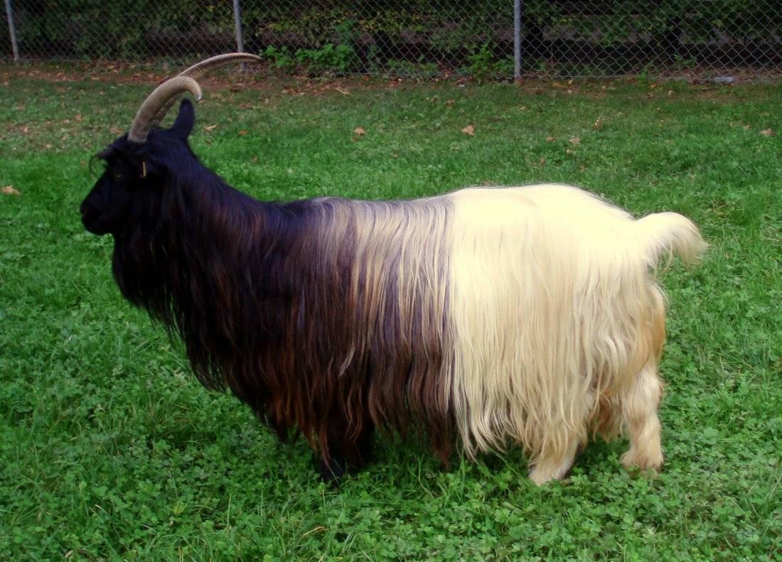 Молочные, мясные и другие породы коз: наименование и характеристики