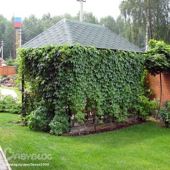 Девичий виноград посадка в уличный вазон. выращивание девичьего винограда на балконе. уход за растением