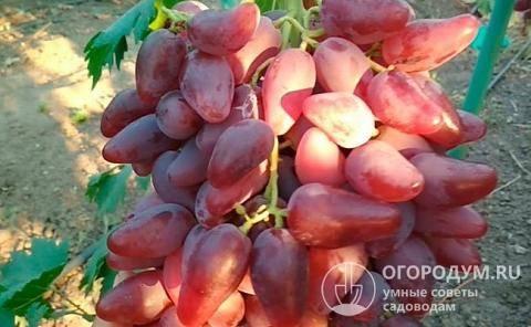 Виноград дубовский розовый