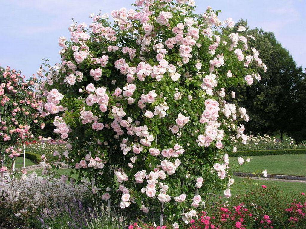 Rosa 'new dawn' — википедия. что такое rosa 'new dawn'