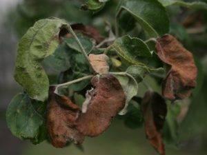 Листья яблони краснеют и скручиваются