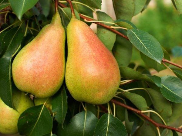 Груша сорта сокровище — описание и агротехника выращивания