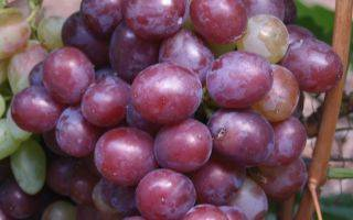 Виноград сенатор: описание, выращивание и уход