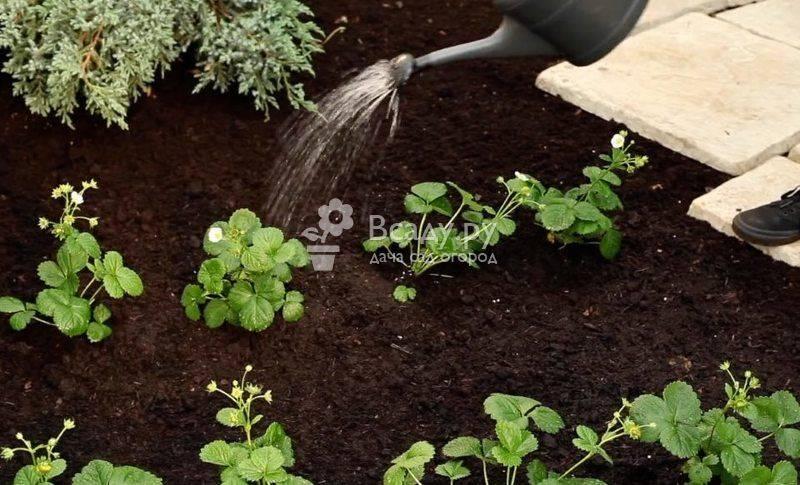Полив клубники в период цветения и плодоношения - нормы и рекомендации