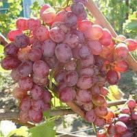 Виноград кишмиш-342: все характеристики и правила ухода