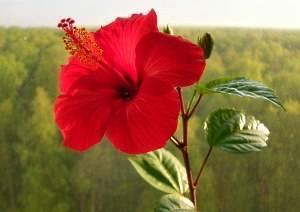 Суданская роза и ее выращивание | domogorodnika.ru