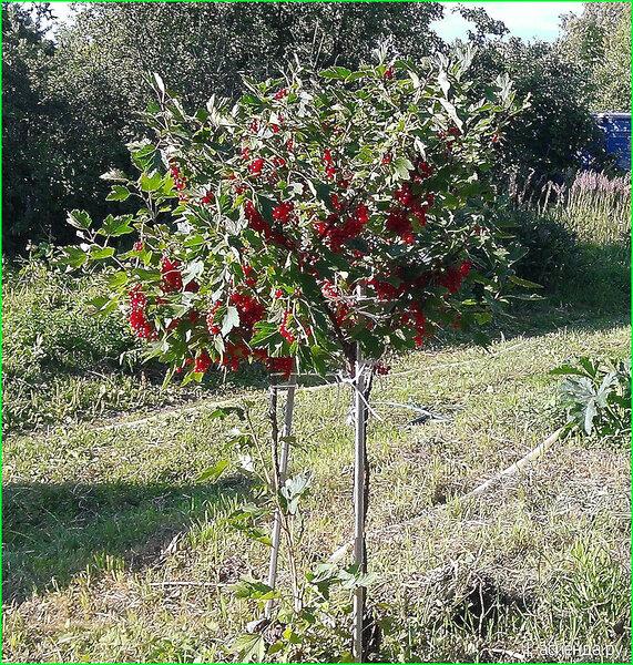 Как вырастить из куста смородины дерево. необычное формирование смородины деревом