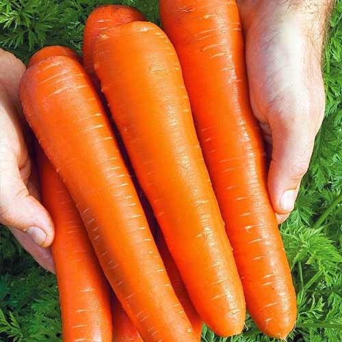 Морковь нииох 336: характеристика и описание сорта, история селекционирования, выращивание, сбор и хранение урожая, болезни и вредители