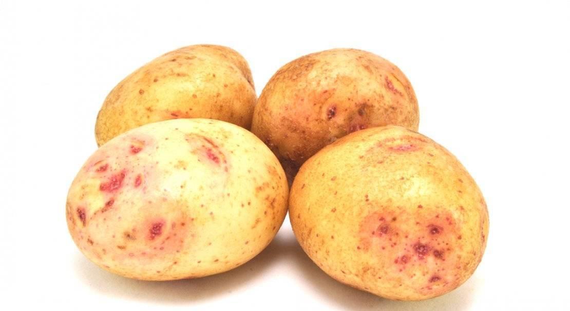 Сорт картофеля «синеглазка»: характеристика, описание, урожайность, отзывы и фото