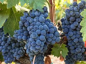 Виноград - строение виноградного куста для начинающих