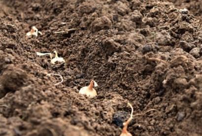 Особенности посадки лука на урале