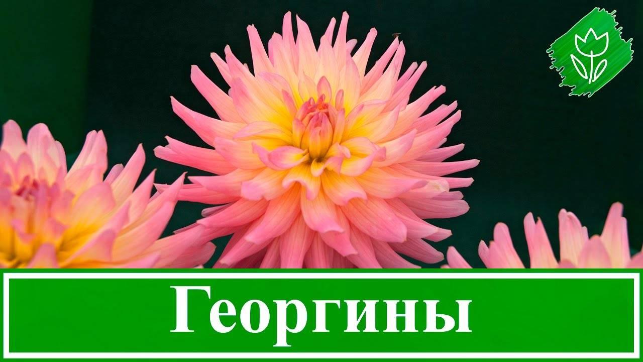 Георгины. как правильно выбрать место для посадки и грамотно ухаживать за цветами