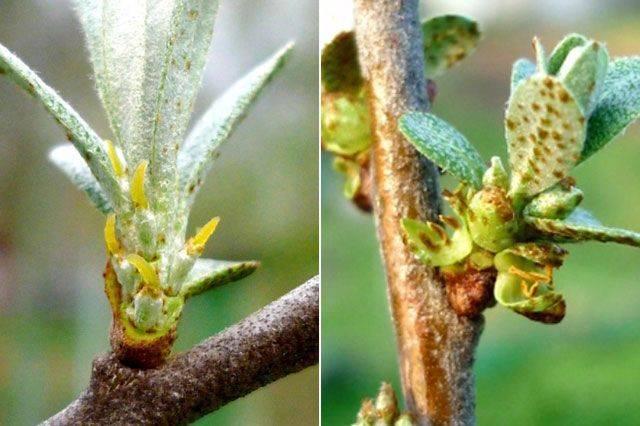 Облепиха это дерево или кустарник? выращивание облепихи в домашних условиях